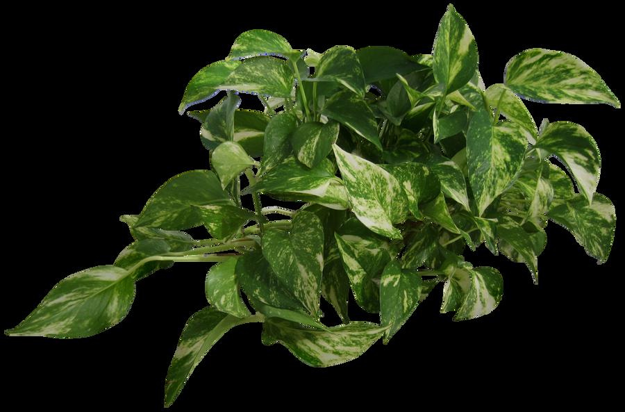 Plant (Epipremnum pinnatum) by Black-B-o-x