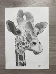 Giraffe pencil drawing by gloriab1999