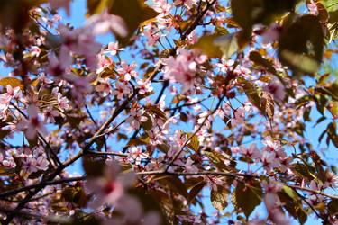 Cherry tree 2 by Shantasha
