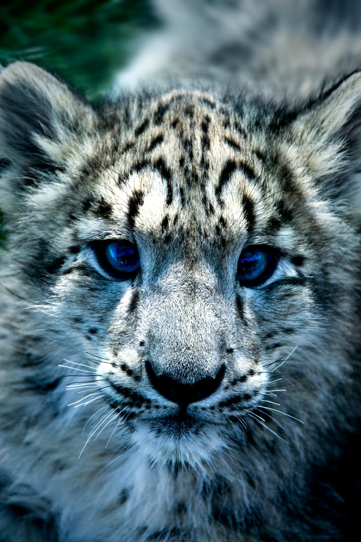 The gallery for --> Cute Baby Leopards With Blue Eyes