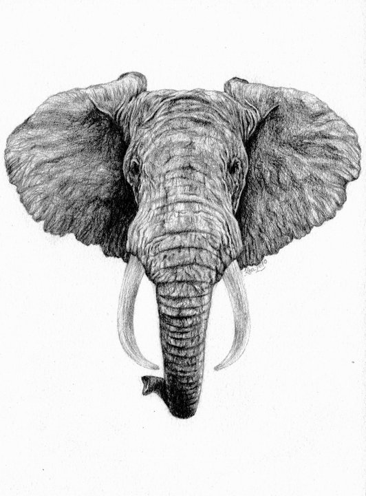 Line Drawing Elephant Face : African elephant by kirstyalcock on deviantart