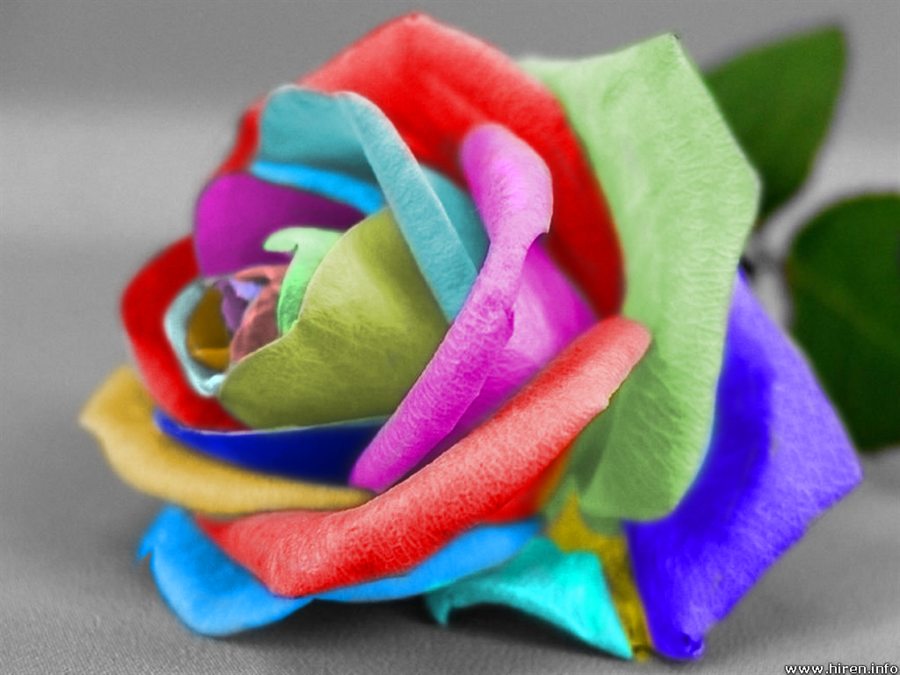 multi color rose by nm7570espira on deviantart