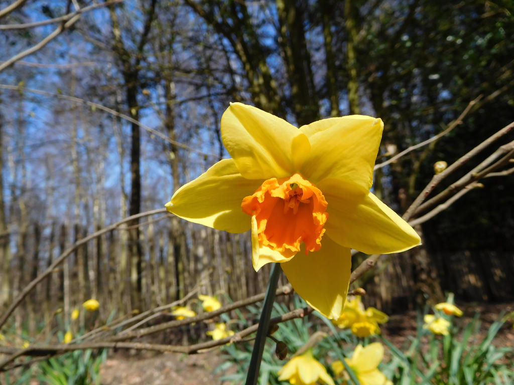 Daffodil by ThePhotographyPotato
