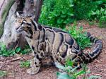 The Grreeat Clouded Leopard