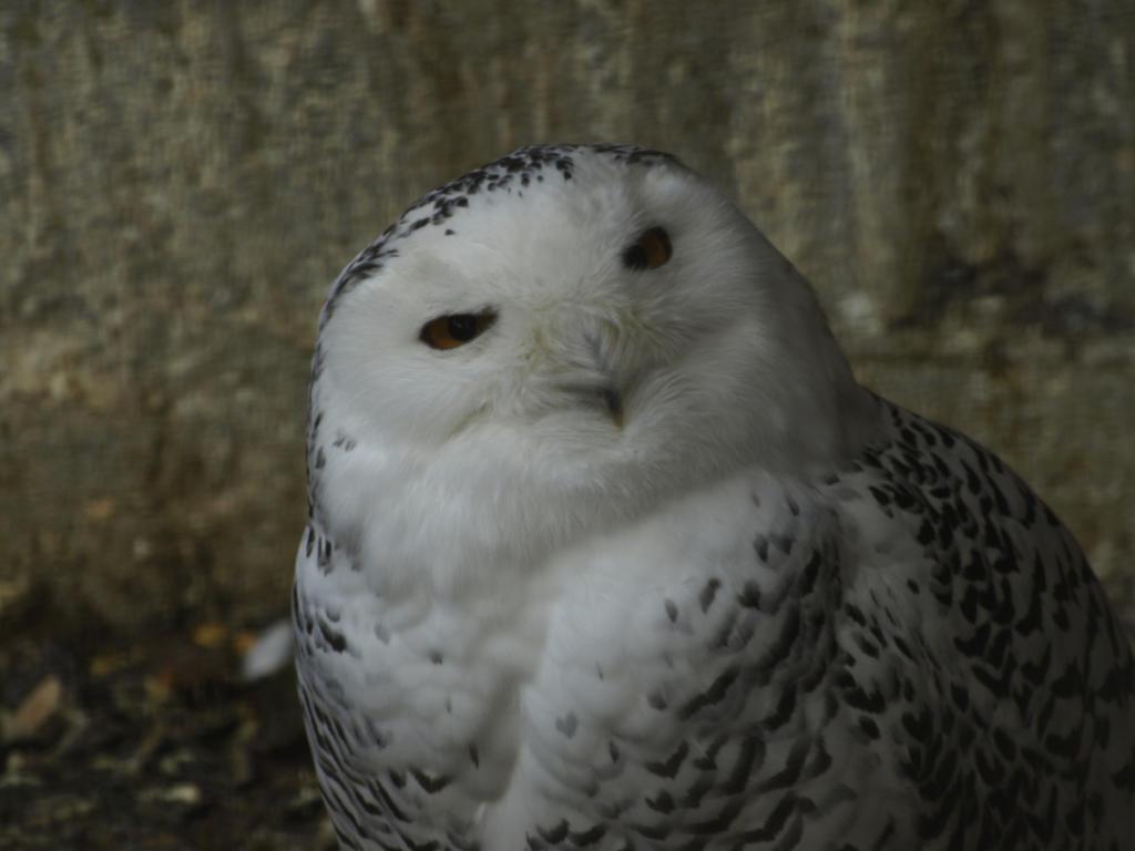 Bird Snowy Owl wallpaper