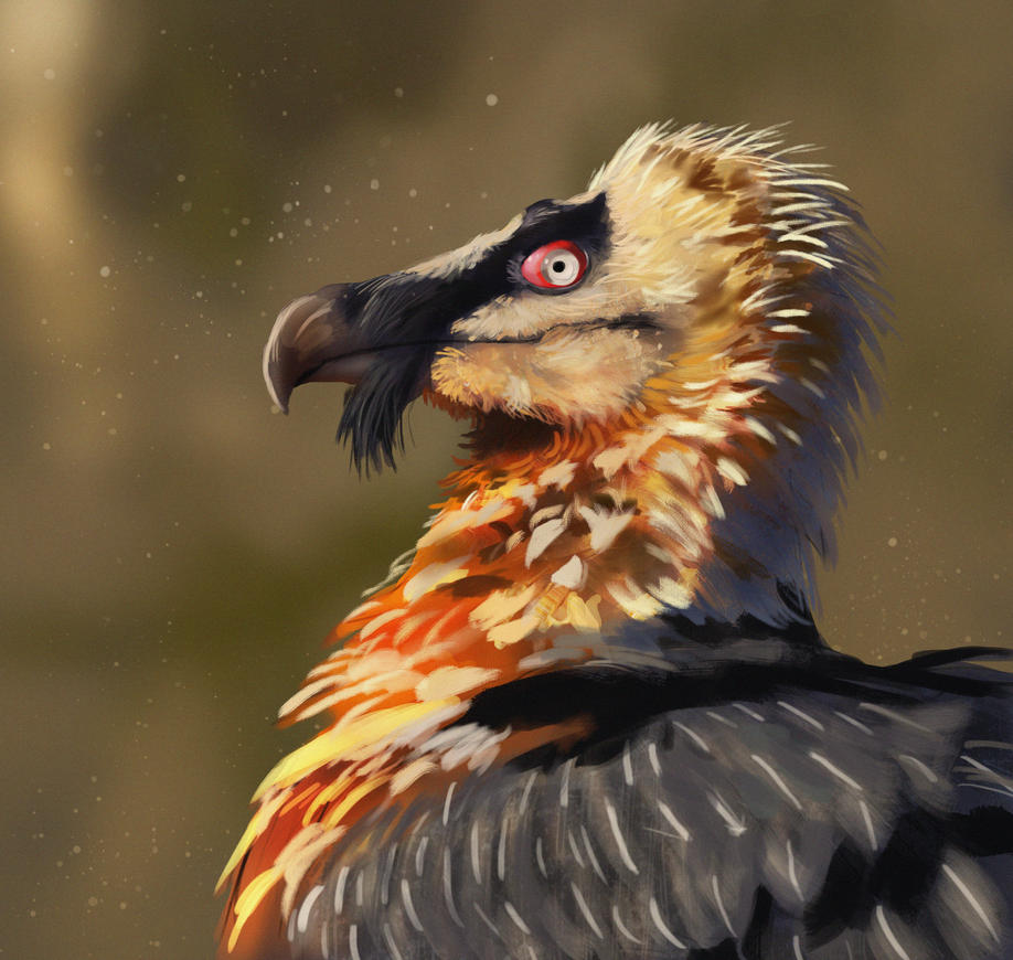 Bearded Vulture study by TylerJustice
