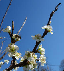 Plum Blossom by zahlenfreak