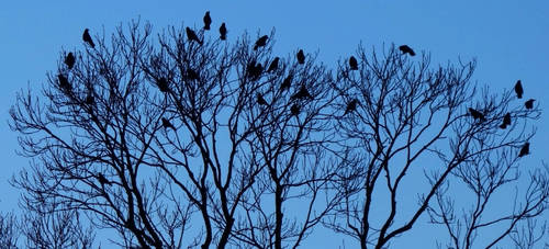 Crows by zahlenfreak