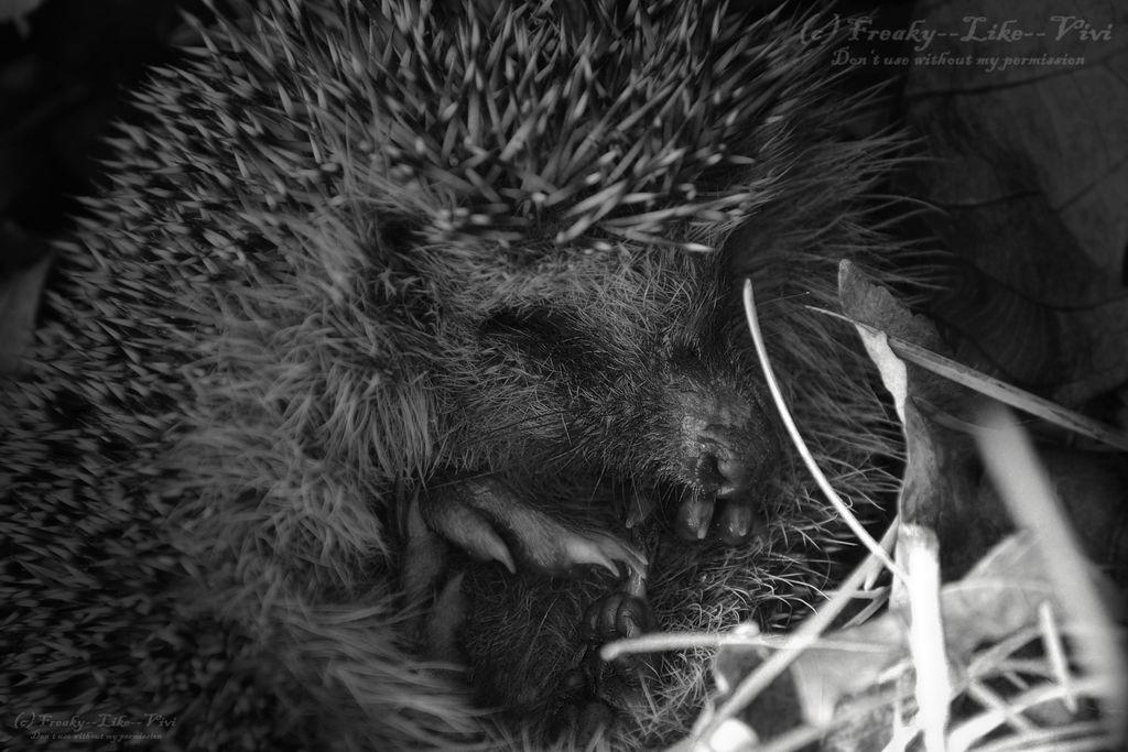 The hedgehog falls asleep... by Freaky--Like--Vivi