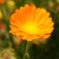 Orange Flower by pegrowe62