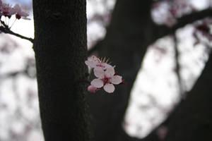 Plum Springtime 02 by pegrowe62