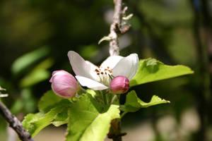 Apples by pegrowe62