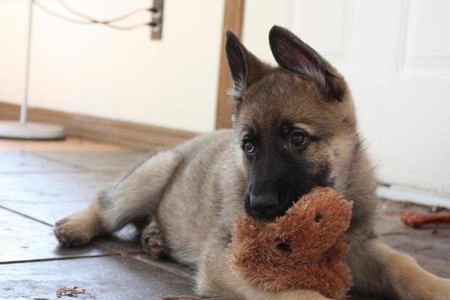 Titan - German Shepherd puppy by elvaniel