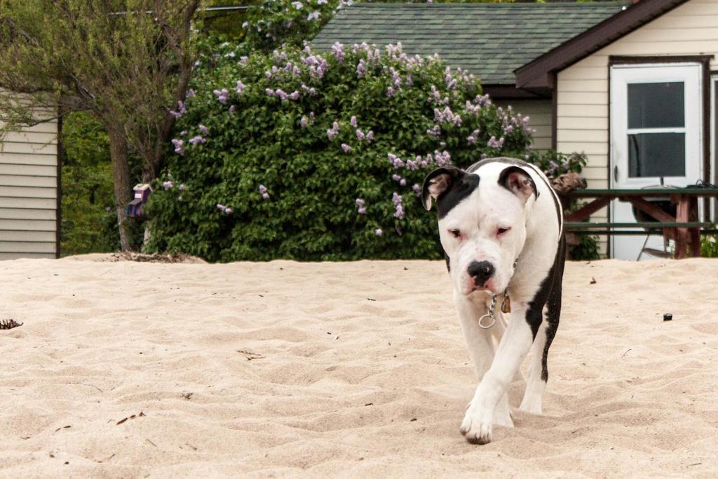 Pitbull and Lavender by elvaniel