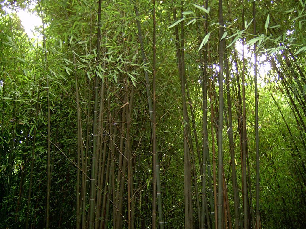 Bamboo 3 by ManixTT-stock
