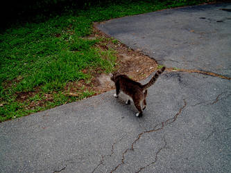 Cat Walking