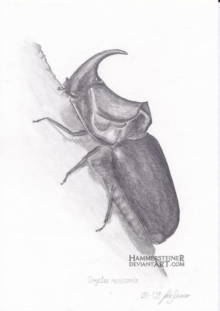 Oryctes Nasicornis by Hammersteiner