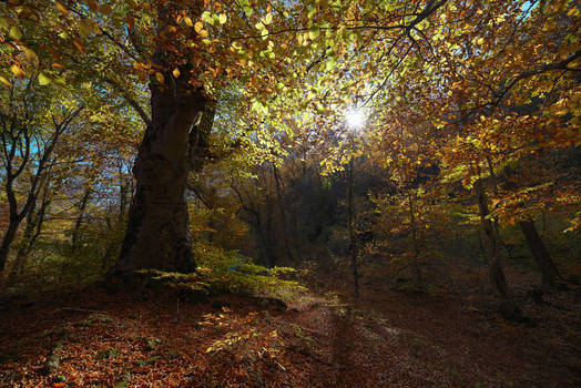 Autumn in the beech forest of Haphal Canyon _6
