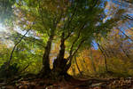 Autumn in the beech forest of Haphal Canyon _15