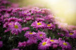 Autumn. Chrysanthemums _16_