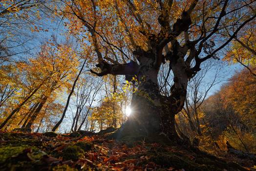 Autumn in the beech forest of Haphal Canyon _26