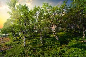 Solovetsky Islands, Drunken forest
