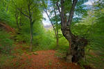 Mountain beech forest