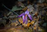 Colchicum autumnale / Autumn crocuses