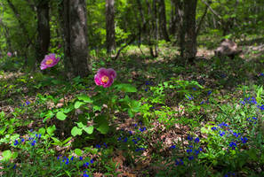 Spring. Mountain beech forest. Wild peonies.