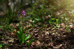 Orchis purpurea by my-shots
