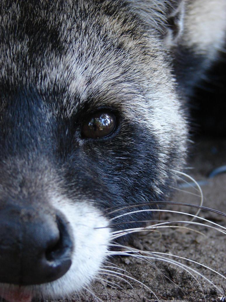 African Civet by SkyWolf22