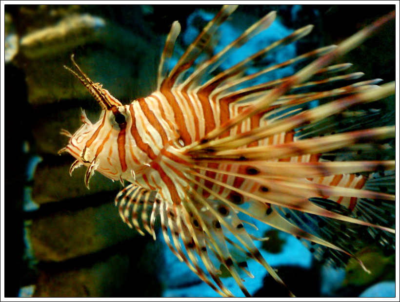 Golden Lion Fish by Belafon