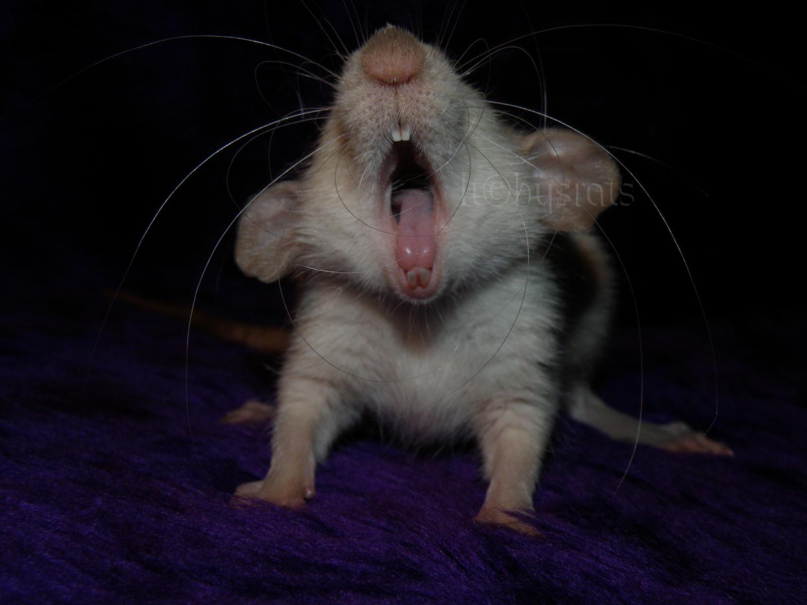 cute rat wallpaper art - photo #15