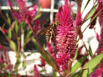 Wasp on Pink