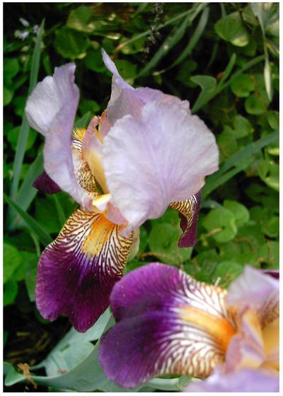 Iris by bonbon3272
