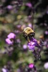 Lavender Bee