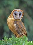 Ashen Faced Barn Owl