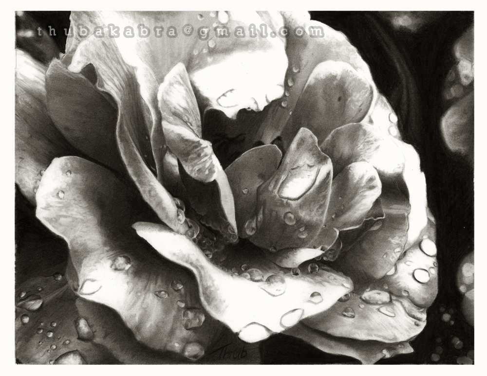 Morning Rose by Thubakabra