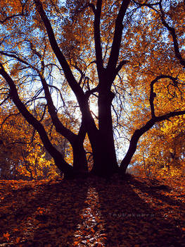Tree at Normafa