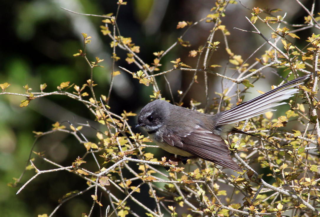 Fantail by ArtLover57