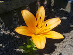 orange lily by InsanityPants