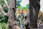 siberian tiger by InsanityPants