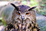 eagle owl by InsanityPants
