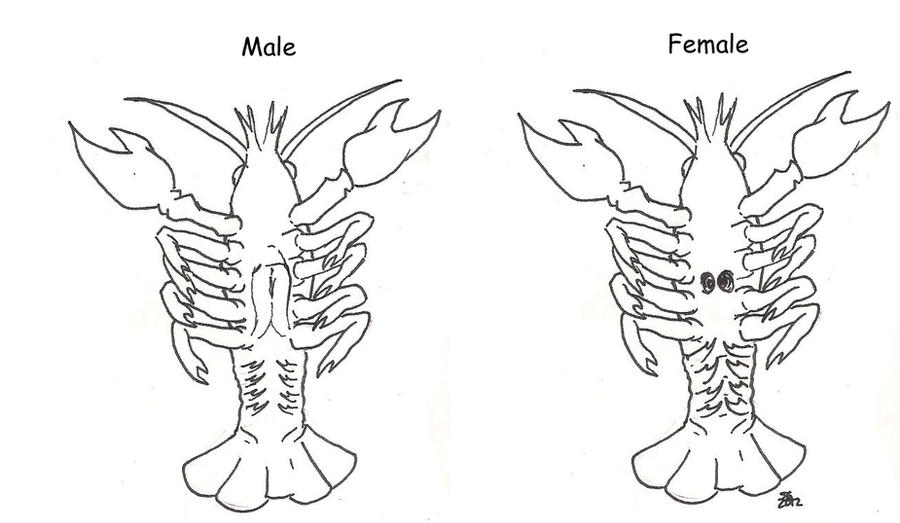 how to tell the difference between male and female crayfish