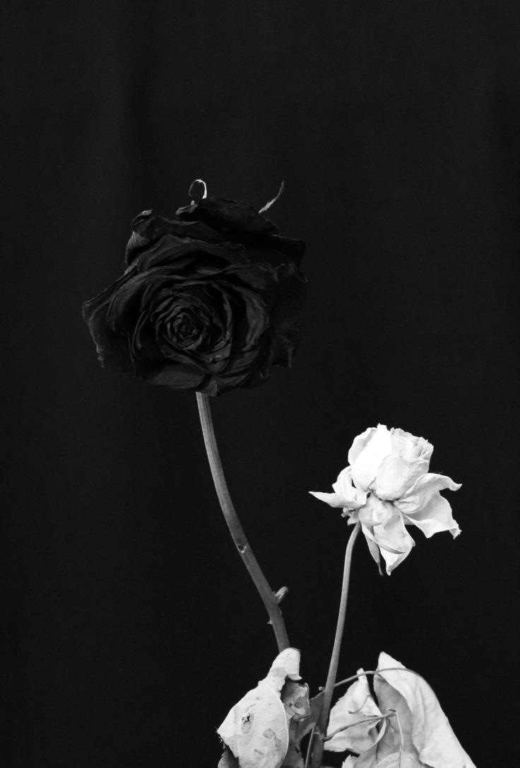 Black And White Rose By Victoriaemmathompson