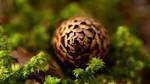 Lost Pine Cone