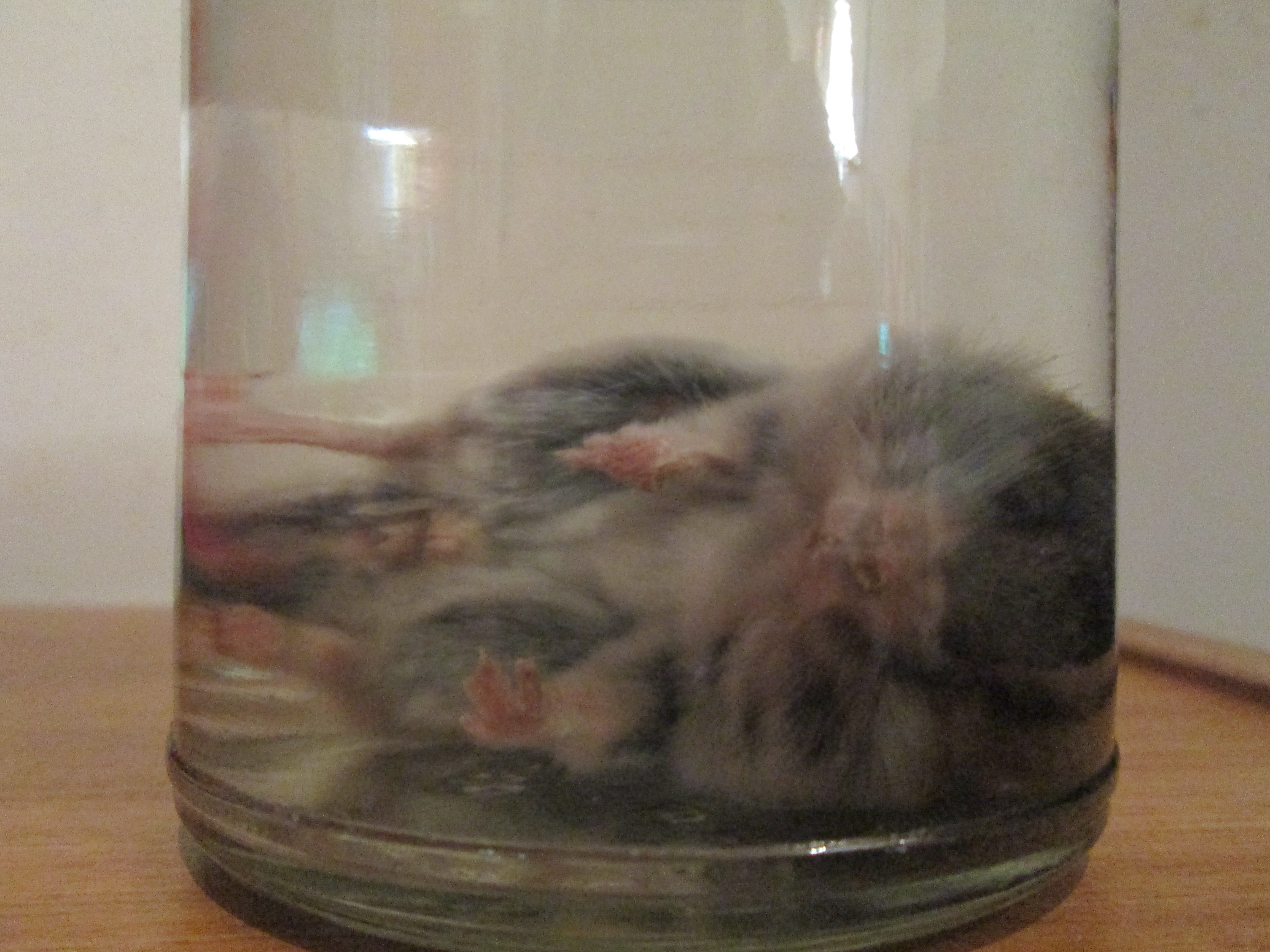 Chinese dwarf hamsters sexual maturity