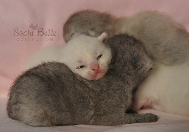 Newborn Kittehs by Sophibelle