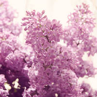 Sun-kissed Lilac 3