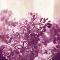 Sun-kissed Lilac 4